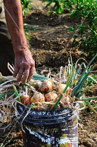 Freshly harvested onions in a bucket in a garden