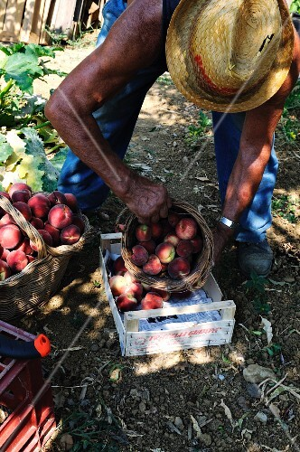 An older man transferring freshly picked peaches into a crate