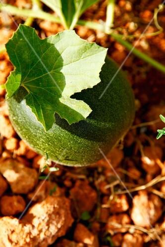 An unripe melon on the plant