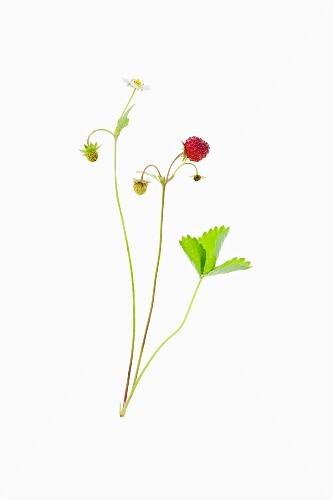 A woodland strawberry