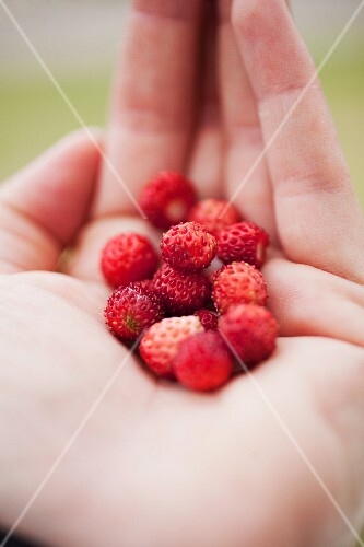 Wild strawberries on the palm of someone's hand