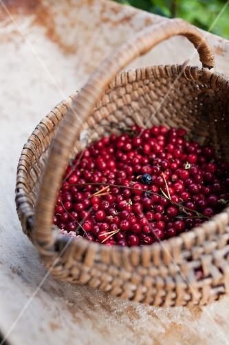A basket of organic lingonberries