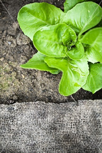 A lettuce in a flower bed (seen from above)