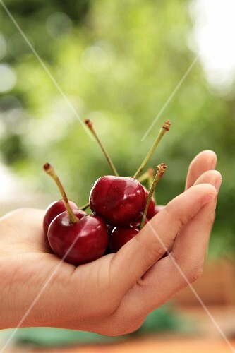 A hand holding cherries
