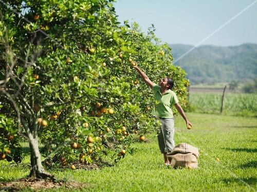 Arbeiterin pflückt Orangen