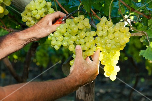Grapes being cut from a vine
