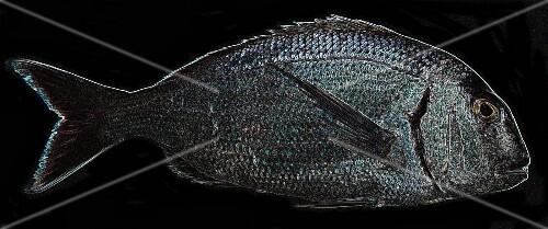 A fluorescent fish