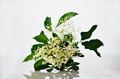 A sprig of elderflowers