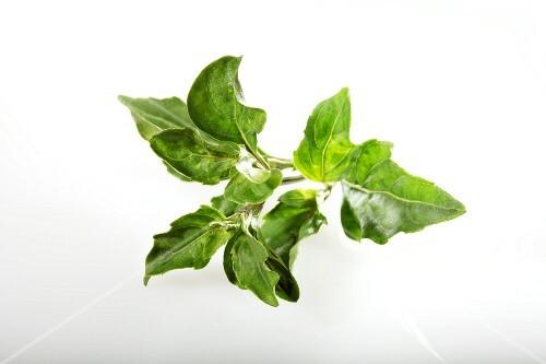Pepper basil (Ocimum selloi)