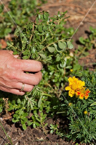 A hand pulling up a garden plant