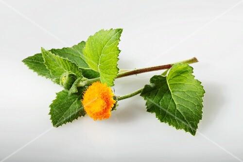 Embiribiri (Crassocephalum vitellinum, afrikanische Spinatpflanze)