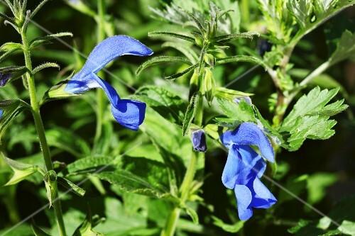 Gentian sage (Salvia patens)
