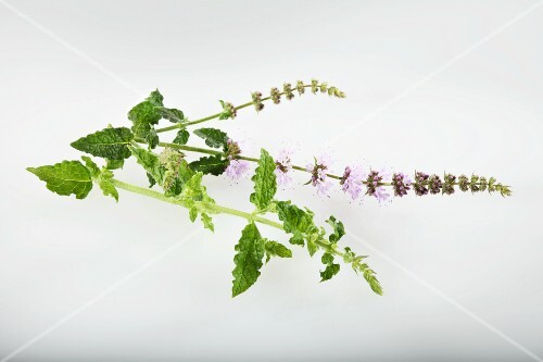 Strawberry mint (Mentha species)