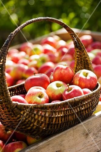 Freshly harvested apples in the sunshine