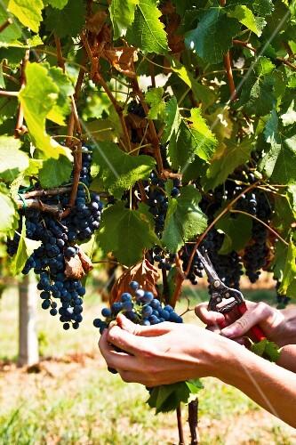 A woman harvesting grapes