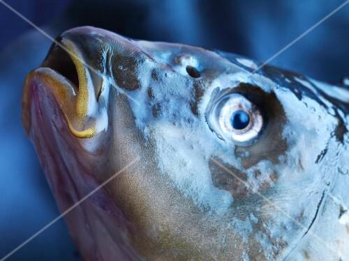 A carp head