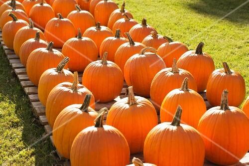 Harvested Pumpkins in Bennington, Vermont