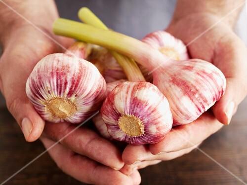 Hands holding fresh garlic bulbs