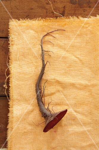 A beetroot root on a yellow cloth