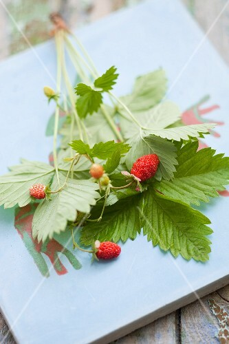 A strawberry plant with fresh berries