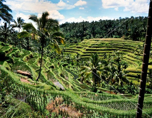 Rice terraces in Bali (Indonesia)