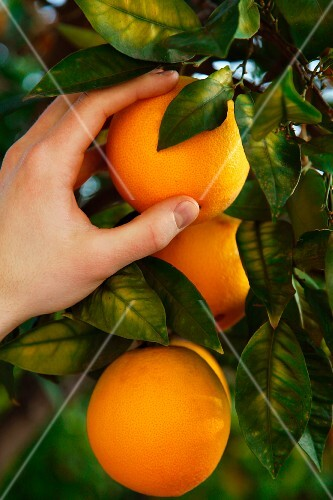 A hand picking an orange from the tree
