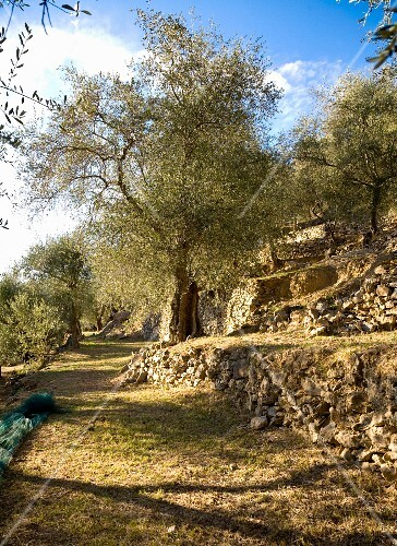 An olive grove in Liguria