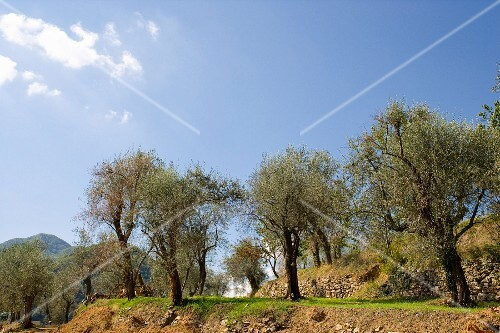 Old olive trees on a terraced slope