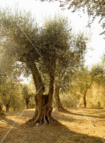 Mature olive trees in the afternoon sunshine