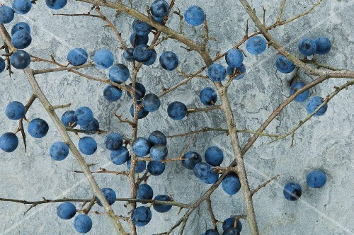 Branches of sloes