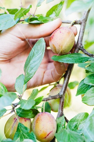A gardener picks a plum from the tree