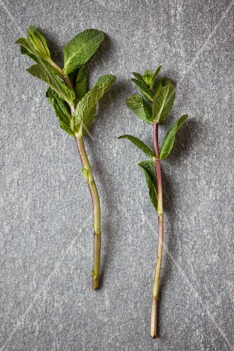 Two sprigs of fresh mint