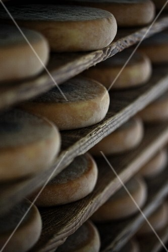 Many wheels of cheese on shelves in a cheese dairy