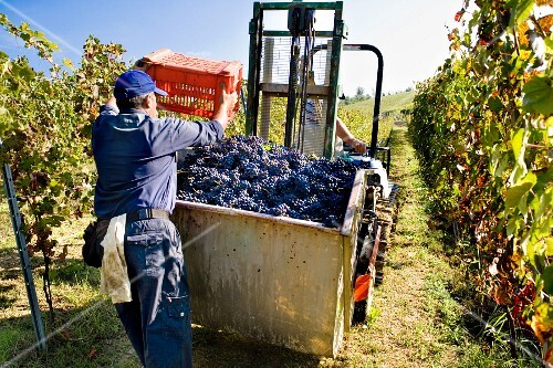 A grape picker tipping harvested wine grapes into a container