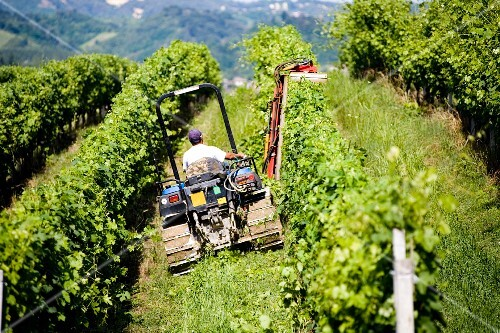 Harvesting grapes with a machine
