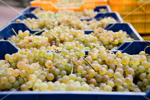 Harvested Pigato grapes in plastic boxes