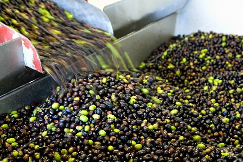 Olives being washed before pressing