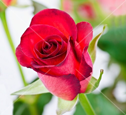 A red rose (close-up)