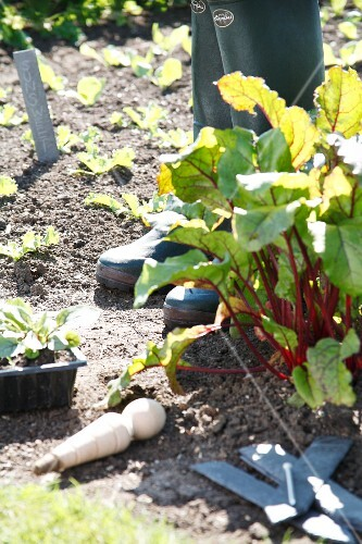 Red-stemmed chard growing in the garden