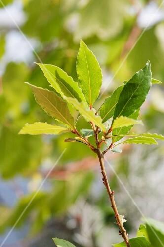 Laurel branch (Laurus nobilis) in the sunlight