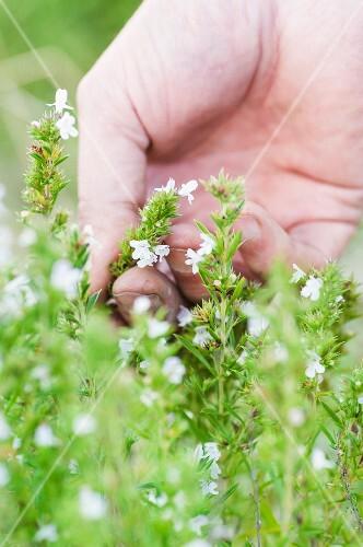 Winter savory (Satureja montana) with flowers