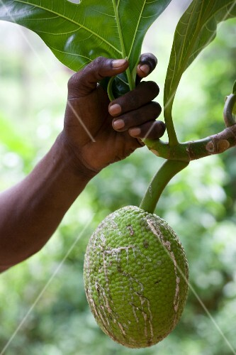 Breadfruit hanging from tree, close-up