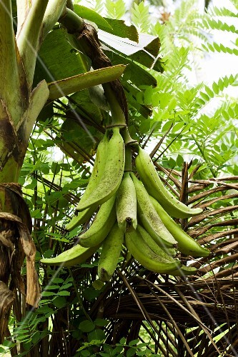 Plantains on the plant
