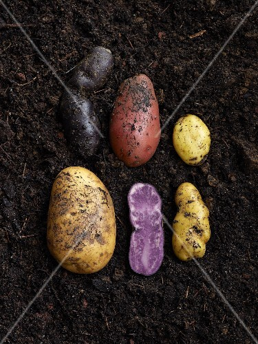 Assorted potatoes lying on damp soil