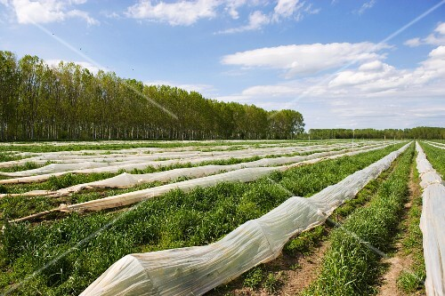 A field of green asparagus