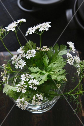 Coriander leaves with flowers in a glass