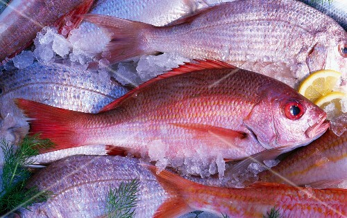 Several red snapper on ice