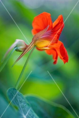 Nasturtium flower (close-up)