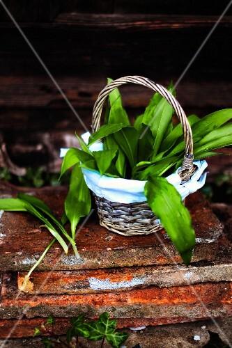 Fresh wild garlic in a small basket