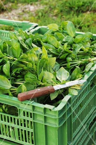 Freshly harvested basil in a vegetable crate